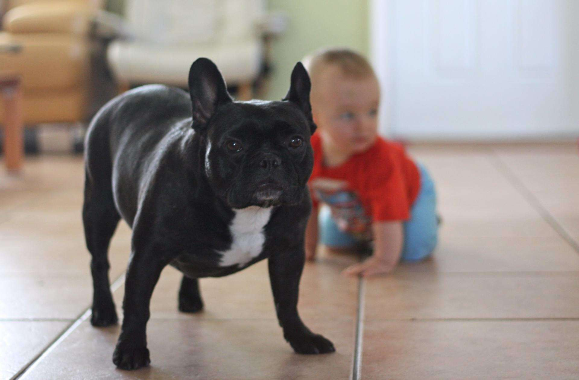 Are dogs and toddlers a safe combination?, French Bulldog and toddler%, uncategorised, new-dad, community%