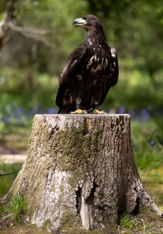 'Awe-inspiring' white-tailed sea eagle arrives on Isle of Wight, 2.59722170%, daily-dad%