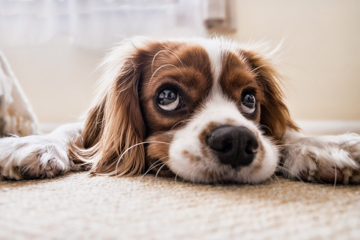 Dogs can sniff out Covid in under a second, dog 2785074 1920%, health%
