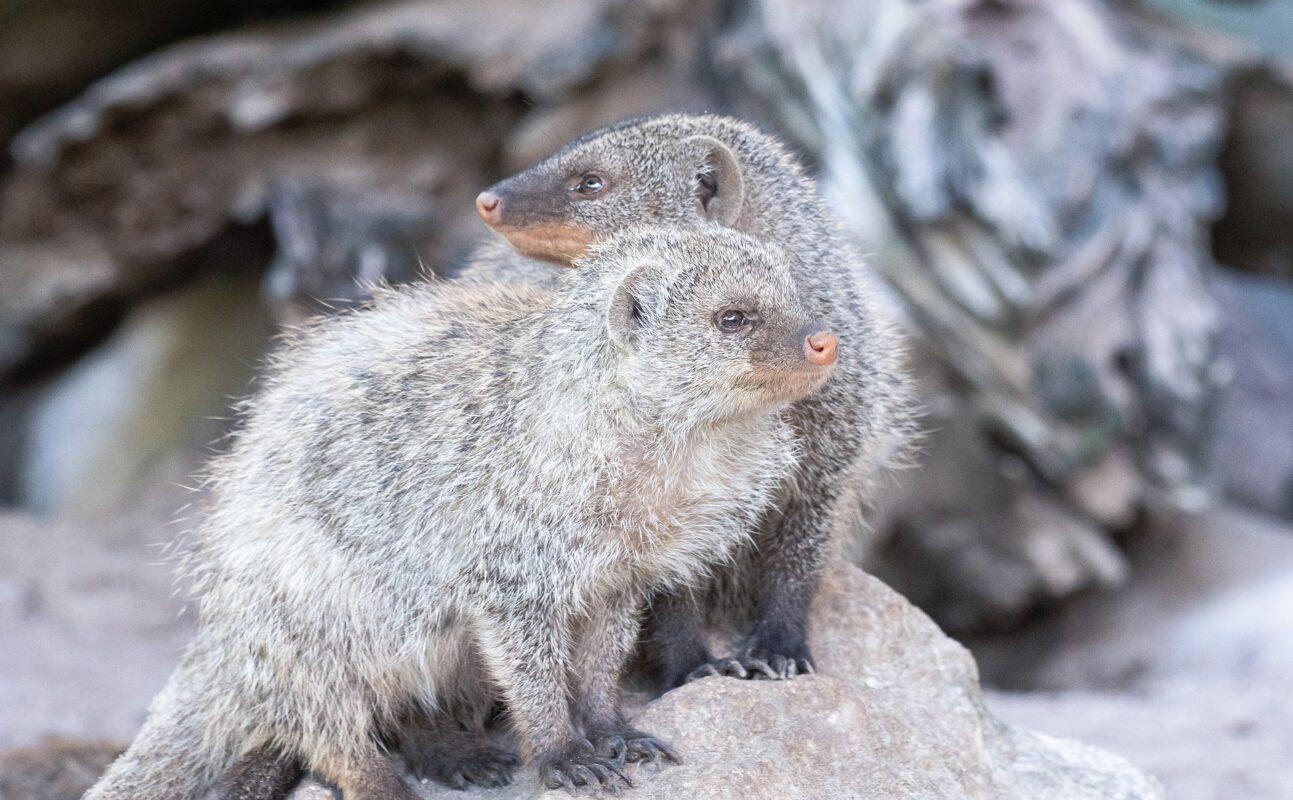 Tamba and Nct, banded mongoose 5952309 1920%, %