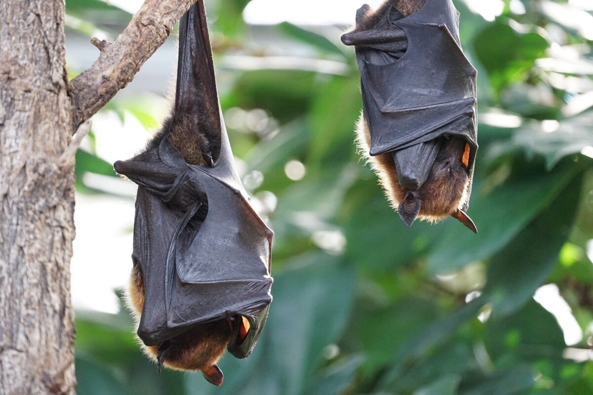 Baby bats babble like human infants, research suggests