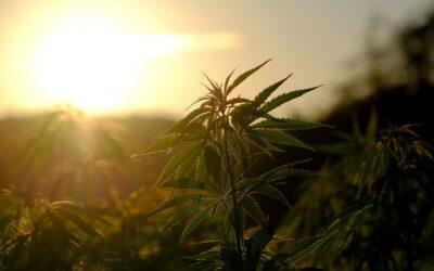 Teenage cannabis use 'linked to having premature babies'
